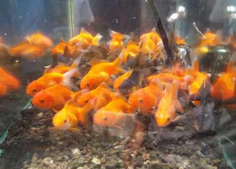 Ikan Pasar Burung Splendid
